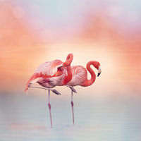 Two Pink flamingos at sunset