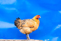 Hen against blue metal wall