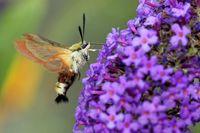 broad-bordered bee hawk-moth on a summer lilac