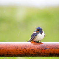 Smoke swallow on a red pole at rainy weather