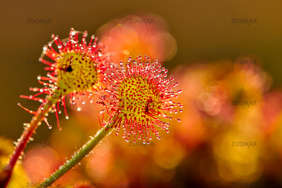 drosera in a German bog