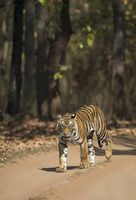 Tigress seen at Bandhavgarh National Park, Madhya Pradesh, India.