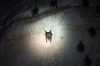 Bats colony in natural cave