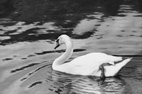 Mute swan on water surface