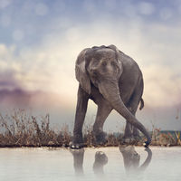 Young elephant near water