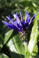 flower blue knapweed