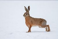 European brown hare on snow in winter
