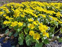 Sumpfdotterblume, Caltha, palustris