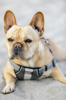 Young male French Bulldog lying down on a sandy beach and scanning his surrounding.