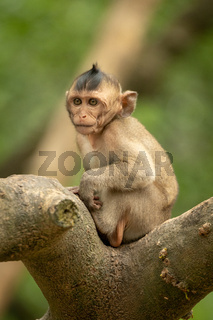 Baby long-tailed macaque sits in forked branch