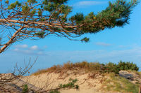 sandy hill and pine branch, Baltic sand dunes and pines
