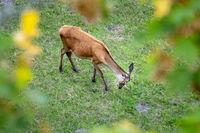 a red deer in the green meadow