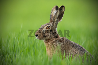 Portrait of brown hare with clear blurred green background.