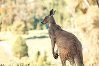 Australian native kangaroo in rural bushland