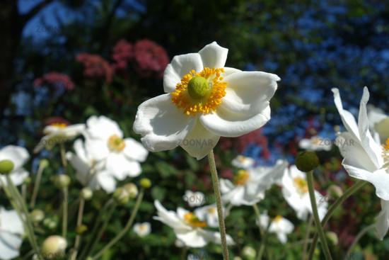 white Autumn anemone