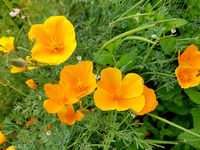 Kalifornischer, Mohn, Eschscholzia, californica