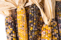 bunch of organic dried multicolored corn on the cob ready to pop popcorn or grit