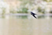 Barn Swallow * Hirundo rustica * in flight, hunting over water
