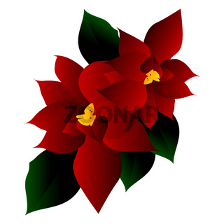 Vector illustration of red poinsettia flower with green leafs on white background.