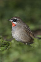 Siberian Rubythroat * Luscinia calliope *, male, sitting on the ground in low vegetation