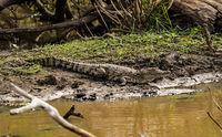 Yala NP - Crocodile