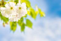 White sakura flowers on a spring tree