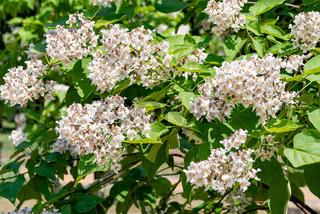 Catalpa bignonioides tree with flowers