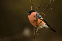 Bullfinch sitting on stalk