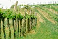 Vineyard landscape. Farming