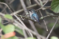 bee hummingbird or zunzuncito sitting on the branches inside the bush in the shade on a sunny day