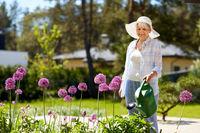 senior woman watering allium flowers at garden