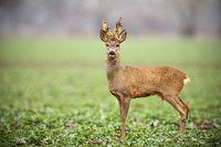 Roe deer, capreolus capreolus, buck with big antlers covered in velvet standing.