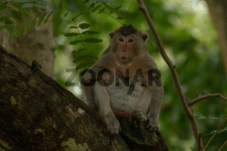 Long-tailed macaque sits in shade on branch