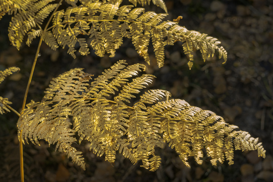 Forest of the Darss area - fern