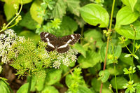 White admiral butterfly,