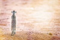 Meerkat looking at the sun, Kgalagadi Transfrontier National Park, South
