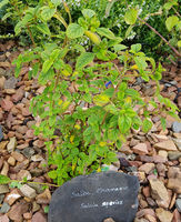 Salbei, Salvia species, Chamaque