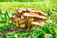 Group of honey agaric mushrooms