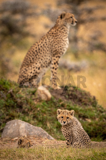 Cheetah cub sitting with mother in background