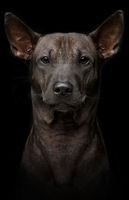 beautiful young thai ridgeback dog on black background