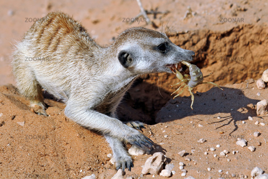 Meerkat eats a scorpion, Kgalagadi Transfrontier National Park, South Africa