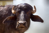 Indian water Buffalo young, portrait