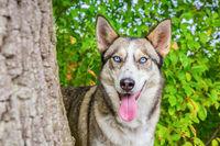 Wolfish husky dog in green nature