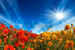 Strong wind drives the cirrus clouds. The bright southern sun illuminates the fields of red garden buttercups- ranunculus. Concept of rural  amd recreational tourism