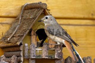 Gartenrotschwanz am Nest