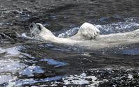 White bear in the water swim backstroke.