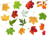 various leaves of maple trees isolated
