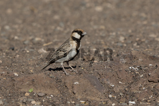 Fischers sparrow-Lark that sits on the rocky slope of a small mountain among the African savanna