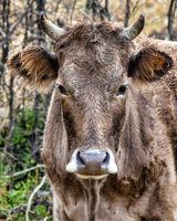 Brown Caucasian cow