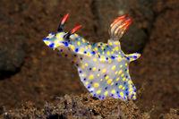 Nudibranch, Hypselodoris roo